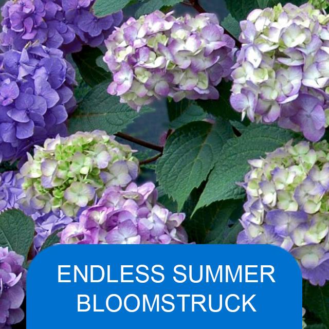 Endless Summer Bloomstruck