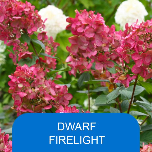 Dwarf Firelight