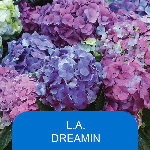 L.A. Dreamin