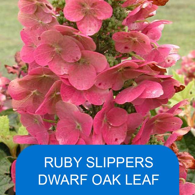 Ruby Slippers Dwarf Oak Leaf