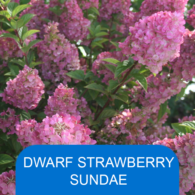 Dwarf Strawberry Sundae