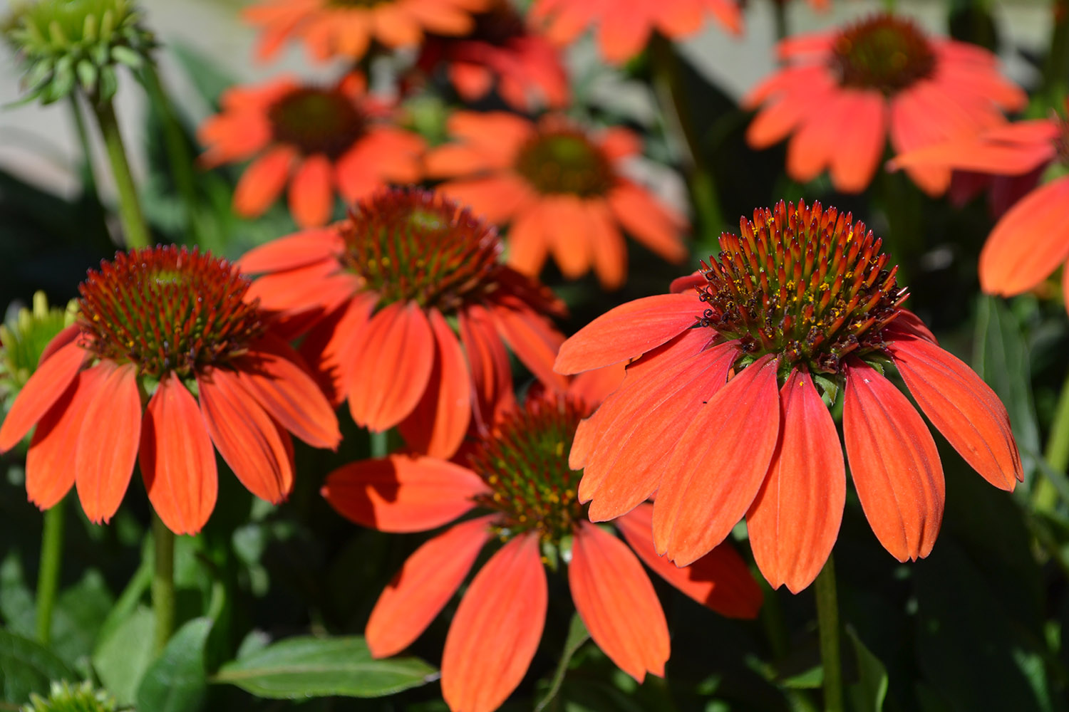 Blog top 10 summer blooming perennials there are many different varieties of plants youre sure to find one thats right for your garden coneflower is deer resistant and attracts butterflies izmirmasajfo