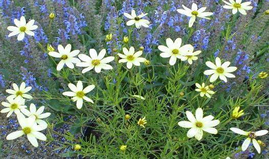 Blog six long blooming perennials this tall plant sends up airy flower stalks topped with hundreds of tubular white flowers mightylinksfo