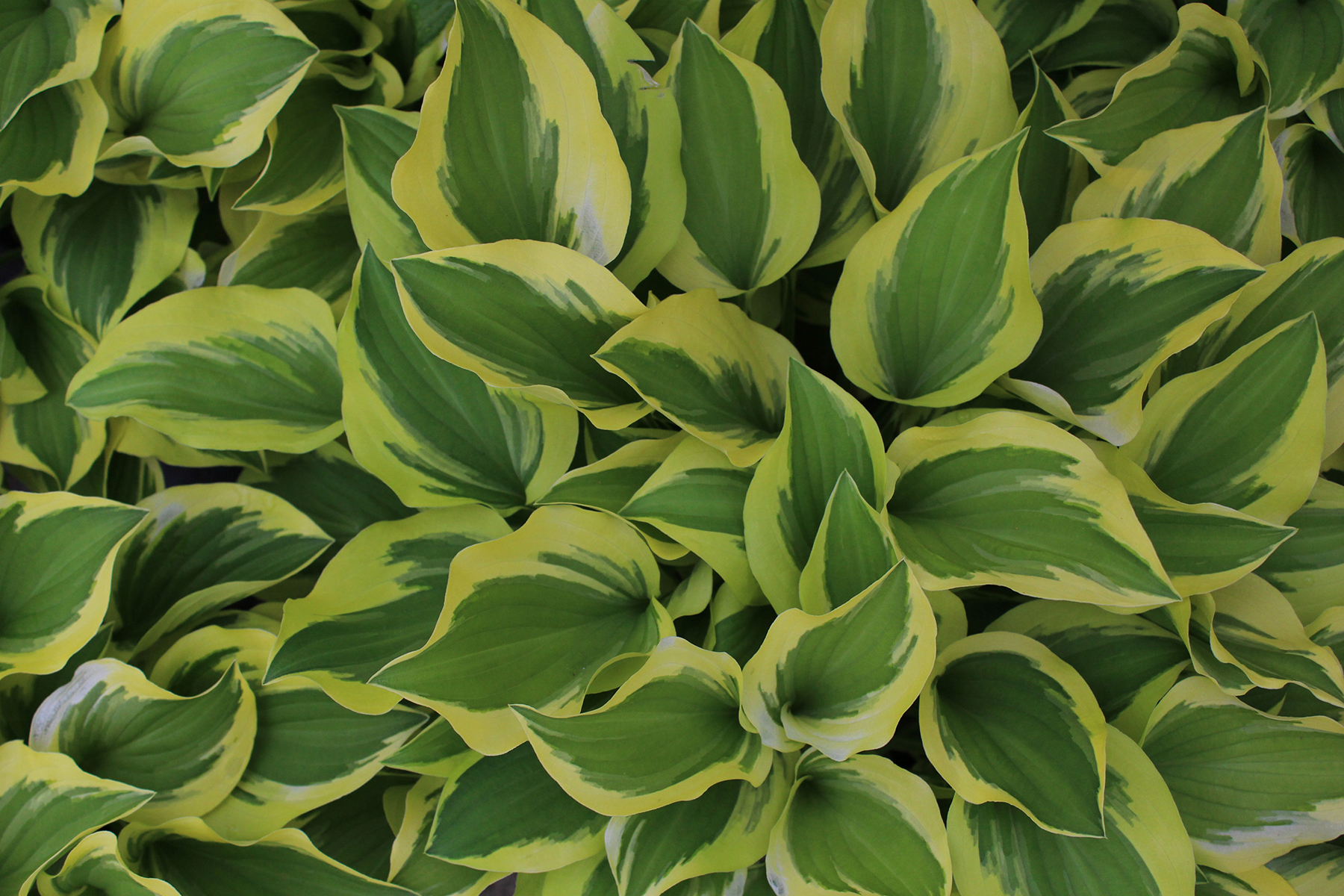Primarily Grown For Their Foliage Hostas Comes In Hundreds Of Diffe Varieties From Light Green To Blue Leaves Plants Tolerant Full Sun Deep Shade