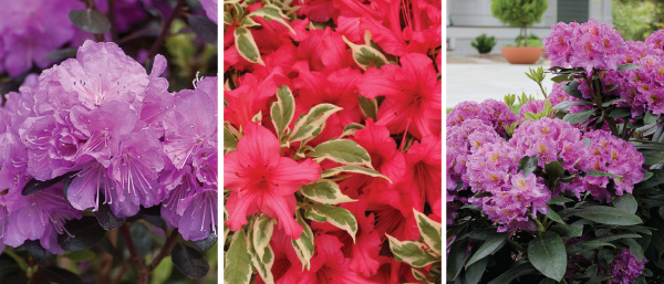 Blog hot new plants from proven winners the dandy man line feature pink and purple flowers all are great for foundation planting woodland gardens and mixed borders mightylinksfo