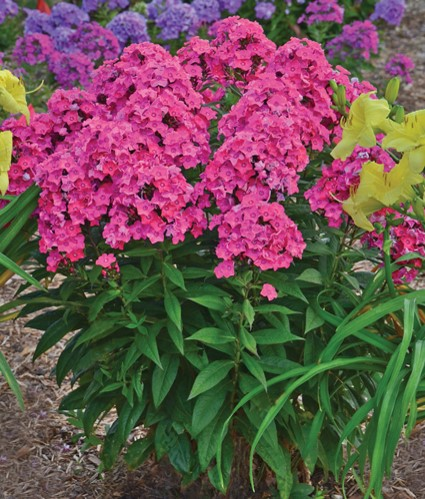 Blog Top 10 Summer Blooming Perennials