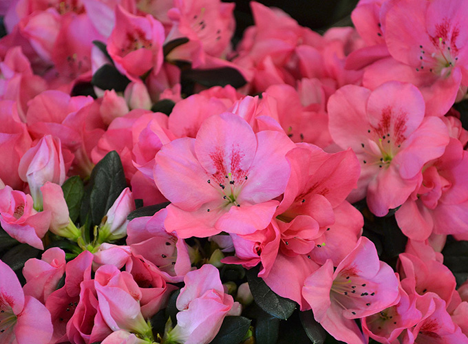Blog 16 of our favorite easter plants flowers hydrangeas with large fluffy balls or delicate lacy flowers hydrangeas are colorful and showy available as plants or fresh cut flowers mightylinksfo