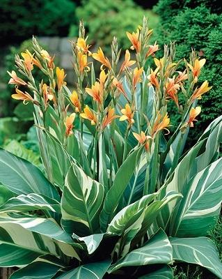 Blog New Varieties Of Summer Flowering Bulbs