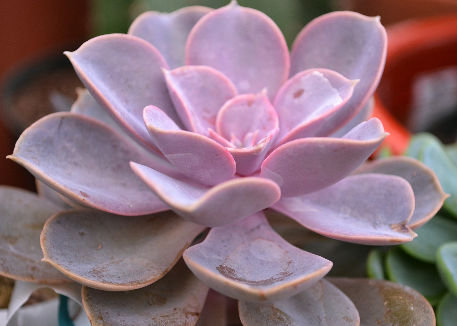 Blog all about succulents one of the most attractive succulents is echeveria available in many colors textures and tones echeveria has waxy leaves and bell shaped flowers that mightylinksfo