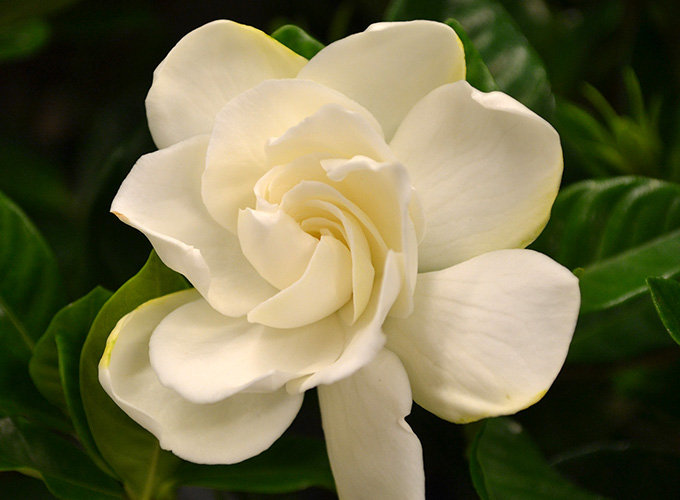 Blog 16 of our favorite easter plants flowers gardenia bush and topiary a fragrant and elegant flower gardenias have glossy dark leaves and big white blooms mightylinksfo