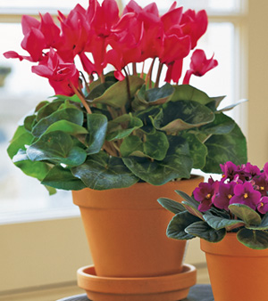 Flowering House Plants