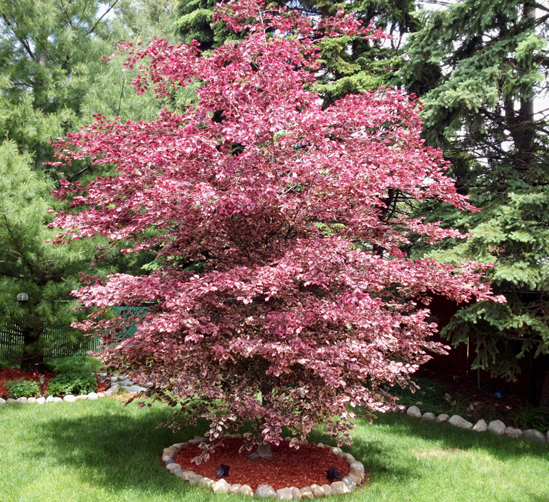 Blog Plant Spotlight Specimen Tree Beeches
