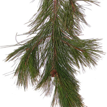 Norway Pine Bunch