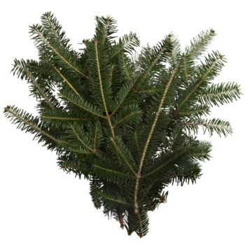 Fraser Fir Bunch