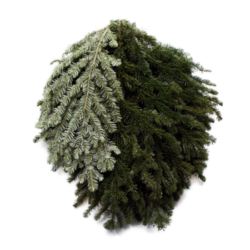 Silver Fir Bunch