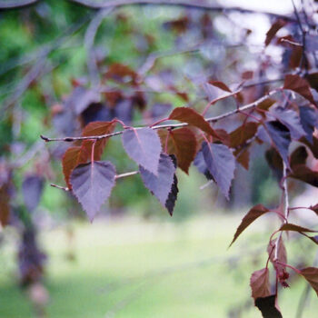 Crimson Frost Birch