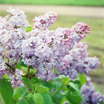 A.M. Brand Lilac
