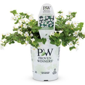 Proven Winners Bacopa Snowstorm Giant Snowflake
