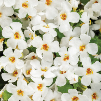 Proven Winners Bacopa Snowstorm Snow Globe