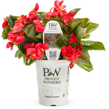 Proven Winners Begonia Surefire Red