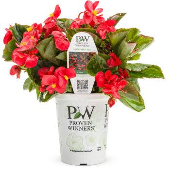 Proven Winners Begonia Surefire Red