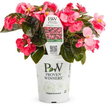 Proven Winners Begonia Surefire Rose