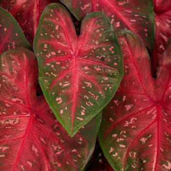 Proven Winners Caladium Heart to Heart Fast Flash