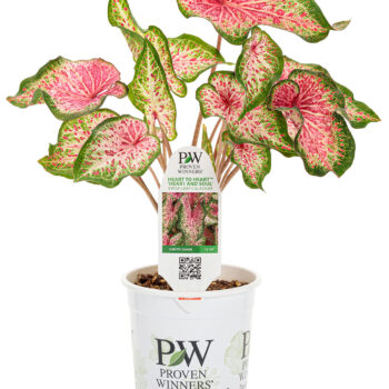 Proven Winners Caladium  Heart to Heart Heart and Soul