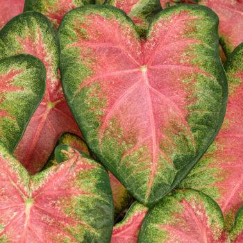 Proven Winners Caladium Heart to Heart Rose Glow