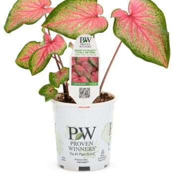 Proven Winners Caladium Heart to Heart Tickle Me Pink