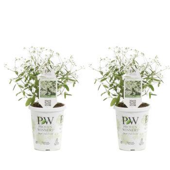 Proven Winners Diamond Frost Euphorbia