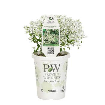 Proven Winners Diamond Snow Euphorbia
