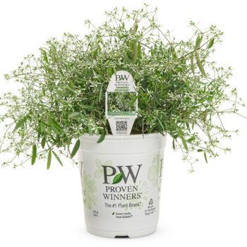 Proven Winners Diamond Mountain Euphorbia