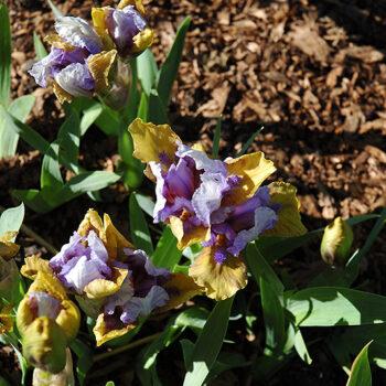 Acey Ducey Iris