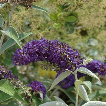 Adonis Blue™ Butterfly Bush