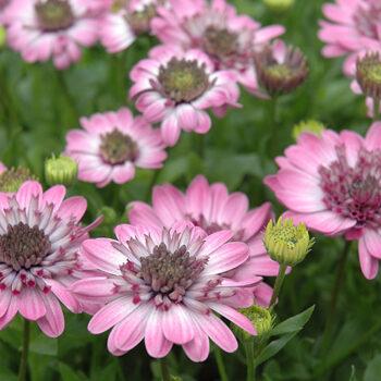 3D Pink African Daisy