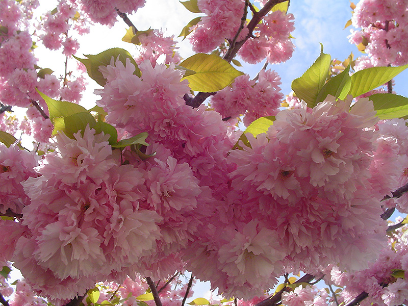 Get Kwanzan Flowering Cherry In Mi At English Gardens Nurseries Serving Clinton Township Dearborn Heights Eastpointe Royal Oak West Bloomfield And The Plymouth Ann Arbor Michigan Areas