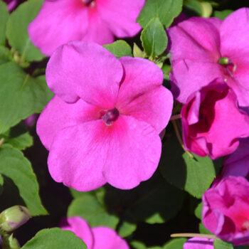 Accent™ Premium Lilac Impatiens