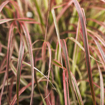 Proven Winners Graceful Grasses Fireworks Variegated Red Fountain Grass