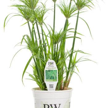 Proven Winners Graceful Grasses Prince Tut Dwarf Egyptian Papyrus