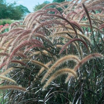 Proven Winners Graceful Grasses Purple Fountain Grass