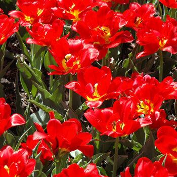 Abba Tulip
