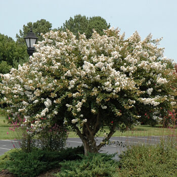 Acoma Crapemyrtle