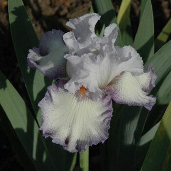 Acoma Iris