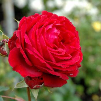 All Ablaze Rose