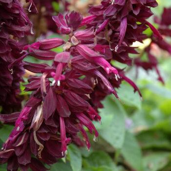 Ablazin'® Purple Sage