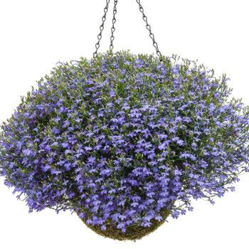 Hanging Basket Laguna Sky Lobelia 350x350 c - English Gardens Orchard Lake Road West Bloomfield Township Mi