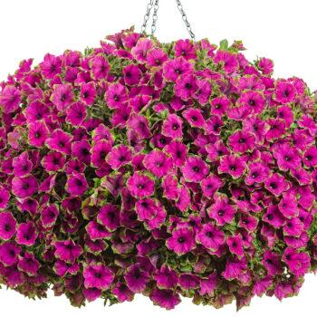 Proven Winners Picasso in Purple Supertunia Petunia Hanging Basket