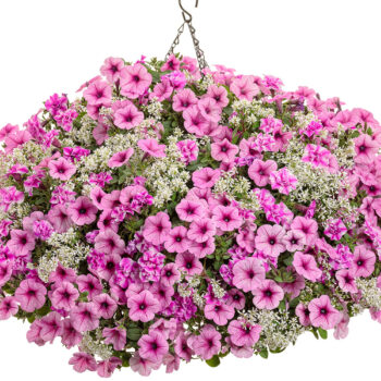 Proven Winners Sharon Supertunia Petunia Hanging Basket