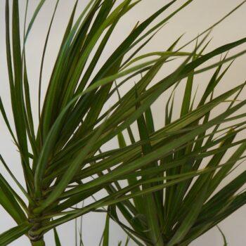 Dracaena Marginata Staggered, 10 inch